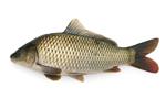 コイ目 (Cypriniformes)