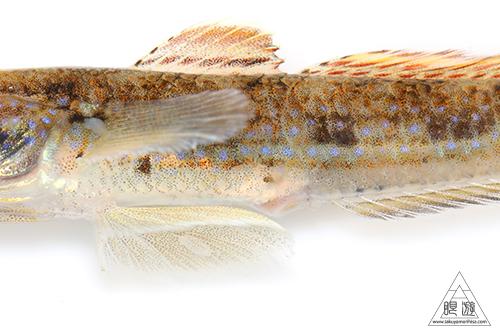 スジハゼ (Acentrogobius virgatulus)