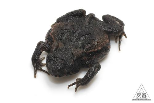 ニホンヒキガエルの画像 p1_13