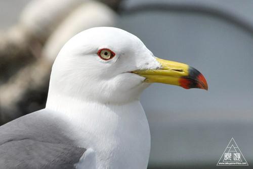 ウミネコ (Black-tailed Gull)...