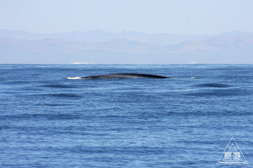 シロナガスクジラの画像 p1_2